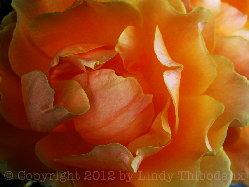 Orange & Gold Rose montage