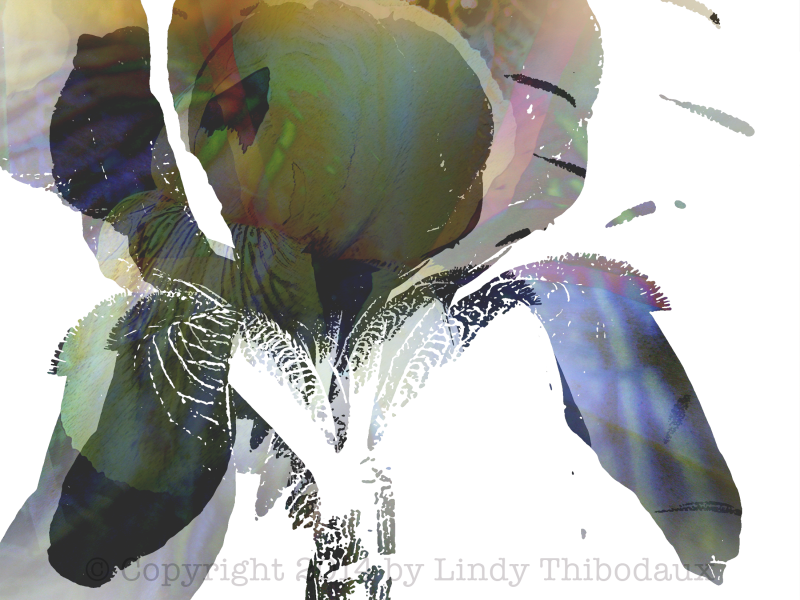 Yellow Iris montage by Lindy Thibodaux