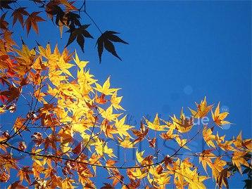 autumnleaves1cwm