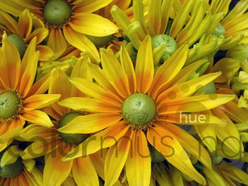 sunflower1wm