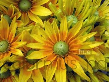 sunflower1wm