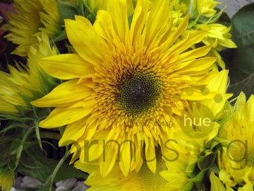 sunflower3wm